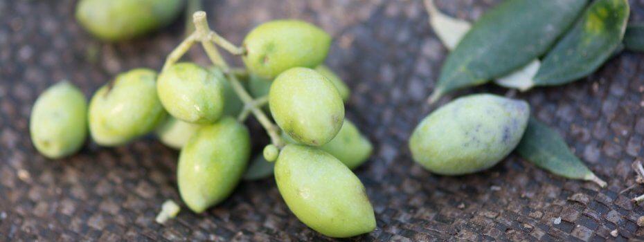 Nos olives lors de la cueillete