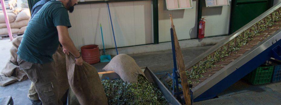 Les olives sont versées dans le nouveau pressoir afin d'être lavée et débarrassée de leurs feuilles